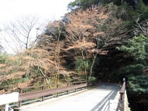 yakushimaonagakaede