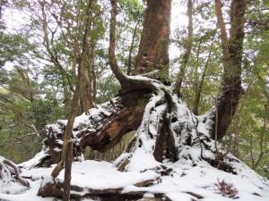 雪の中のくぐり杉
