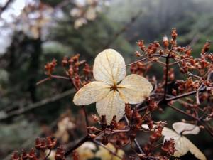 ノリウツギの装飾花