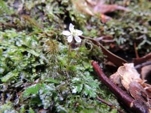 オオゴカヨウオウレンの花と葉
