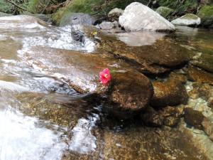 岩場に乗り上げたリンゴツバキの花