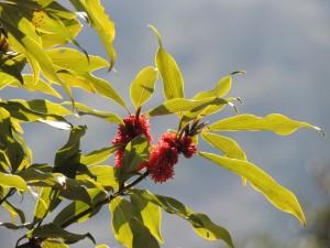 イヌガシの花