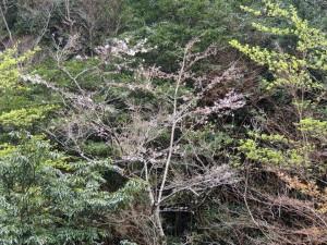 管理棟前の桜