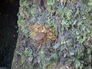 巣を作るミソサザイ2