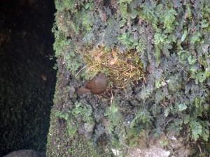 巣を作るミソサザイ1