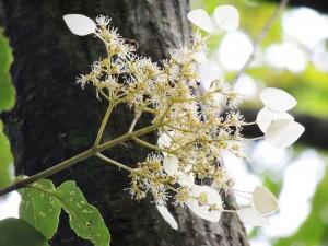 イワガラミの花