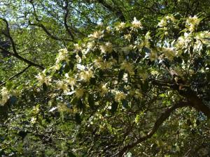 シキミの花3