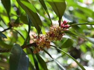 タイミンタチバナの雄花