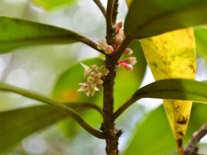 タイミンタチバナの雌花
