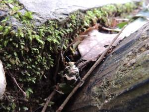 アカスジキンカメムシの幼虫2