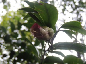 落花後のリンゴツバキ