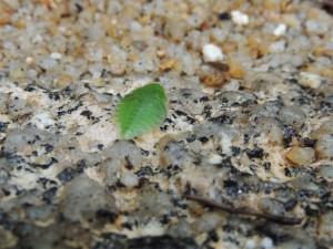 ヒラタミミズクの幼虫2