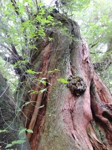 二代大杉とアオツリバナ