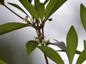 モクレイシの花1