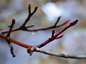 ヤクシマオナガカエデの冬芽