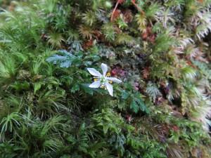 オオゴカヨウオウレンの花