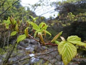 ヤクシマオナガカエデの芽吹き2