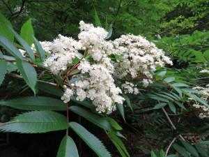 ナナカマドの花1