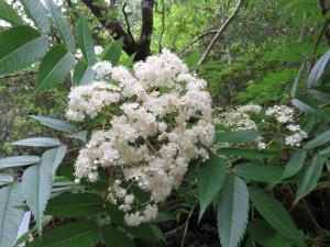 ナナカマドの花2