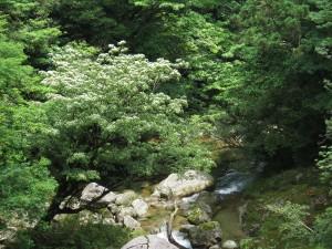 さつき吊橋から望むヤマボウシ