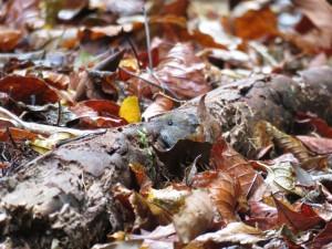 ヤクシマヒメネズミ1