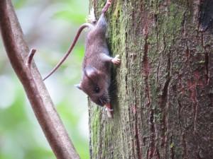 ヤクシマヒメネズミ2
